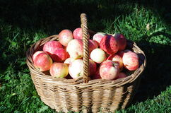 Basket of red apples in the garden, autumn Stock Photo