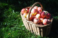 Basket of red apples in the garden, autumn Stock Image