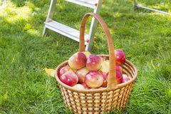 Basket with red apples in the garden Stock Photos