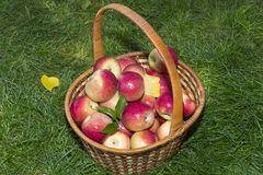 Basket with red apples in the garden Royalty Free Stock Photography
