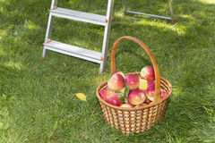 Basket with red apples in the garden Royalty Free Stock Photos