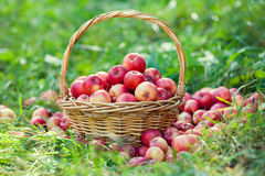 Basket with red apples Stock Photography