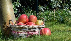 A basket of red apples Stock Photo