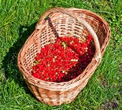 Basket of red currants. Basket of juicy red currants on green grass Stock Image