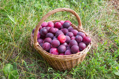 Basket of red plum on green grass Stock Photography
