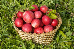 Basket of red ripe apples Royalty Free Stock Photo