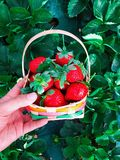 Basket of Red Strawberries royalty free stock photo