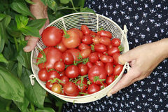 Basket with red tomatoes. Woman holding a basket of red tomatoes Stock Image