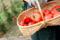 Basket of red tomatoes from garden Stock Photo