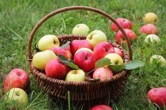 Basket with red and yellow apples on the grass in the garden stock photography