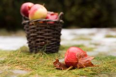 The basket with red and yellow apples are on the grass with snow. One apple is on front of. The basket with red and yellow apples are on the grass with snow Royalty Free Stock Photography