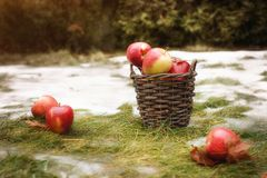 The basket with red and yellow apples are on the grass with snow. Some apples are behind the basket. One apple is on front of. Green background Stock Photo