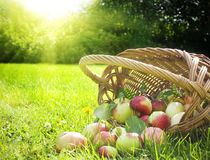 Basket of ripe apples. Ripe apples spilling out of wicker basket on green grass with sun shining in background royalty free stock image