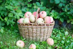 A basket of ripe apples in the garden Stock Photo