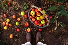 Basket with ripe apples. In orchard garden Stock Photography
