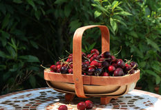 Basket of ripe cherries Royalty Free Stock Photography