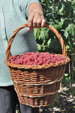 Basket of the ripe raspberry Royalty Free Stock Photo