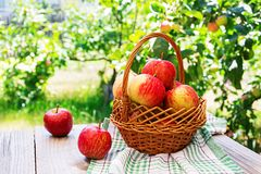 Basket of ripe red apples on a table. In a summer garden royalty free stock image