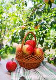 Basket of ripe red apples on a table. In a summer garden stock photos