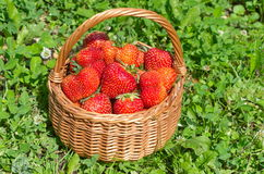 Basket with ripe strawberries on the grass Stock Photos