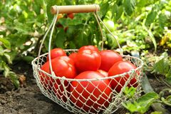 Basket with ripe tomatoes Royalty Free Stock Photography