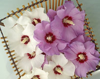 Basket of Rose of Sharon Blossoms. Wooden stick basket filled with purple and white Rose of Sharon blossoms. Angled shot creates interesting oblique lines Stock Photos