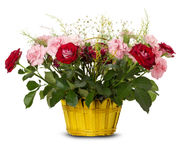 Basket of roses on the white background Royalty Free Stock Images