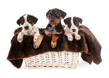 Basket of Rottweiler Mixed Breed Puppies Stock Photo
