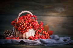 Basket with Rowan and leaves on a wooden table. Autumn still-life. royalty free stock images