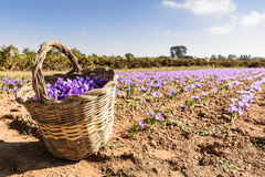 Basket of saffron plenty of flowers Stock Image