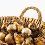 Basket of small root onions Royalty Free Stock Photo