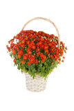 Basket with sphere chrysanthemum Stock Image