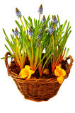 Basket with spring flowers Royalty Free Stock Photo