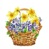 Basket of spring flowers. Daffodils and violets. Watercolor. Spring purple and yellow flowers. Fragrant daffodils and violets. Watercolor drawing on the white Royalty Free Stock Photography