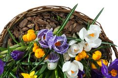 Basket with spring flowers isolated on white background. Wicker basket with crocuses stock image