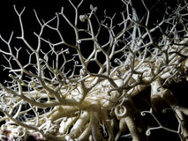 Basket Star (Gorgonocephalus eucnemis) Royalty Free Stock Photo