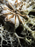 Basket Star (Gorgonocephalus eucnemis) Stock Photos