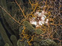 Basket star underwater on coral reef Stock Photography