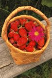 Basket of the strawberries. Birch bark basket with strawberries and daisy wheel Royalty Free Stock Images