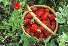 Basket of the strawberries. The birch bark basket with red strawberries Royalty Free Stock Images