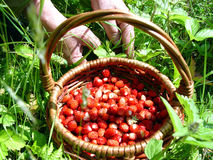 Basket of strawberries. On the background of green grass and the hands of an elderly woman, berry Royalty Free Stock Images