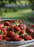 Basket of strawberries. Fresh and ripe basket of strawberries royalty free stock photography
