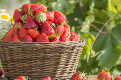 Basket with strawberries. Basquet with strawberries, ripe and fresh strawberries Royalty Free Stock Images