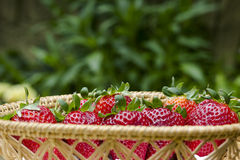 Basket Strawberries green Stock Image