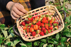 The basket of strawberries in the hand Royalty Free Stock Photography