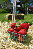 Basket of strawberries on hay bale in Delaplane, Virginia Royalty Free Stock Image