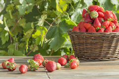 Basket with strawberries. Ripe and fresh strawberries, strawberry field, strawberry sun Royalty Free Stock Images