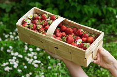 Basket with strawberry Royalty Free Stock Image