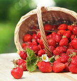 Basket with strawberry Royalty Free Stock Photography
