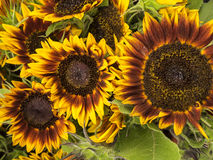Basket of Sunflowers Royalty Free Stock Photos